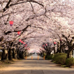 桜の通り抜け大阪造幣局2020!日程、アクセス、駐車場、宿泊情報満載